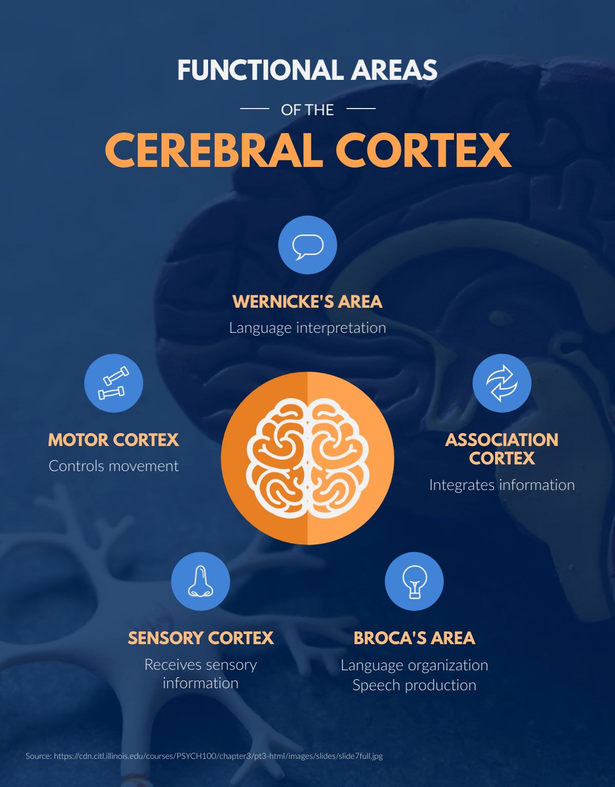visual communication - cerebral cortex infographic